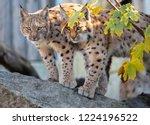 eurasian lynx. portrait of the... | Shutterstock . vector #1224196522