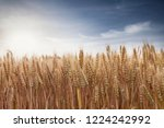 wheat in the farm | Shutterstock . vector #1224242992