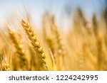 wheat in the farm | Shutterstock . vector #1224242995