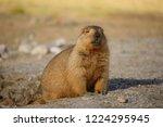 Marmot At Leh Ladakh  On The...