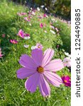 these flowers are cosmos. ... | Shutterstock . vector #1224490885