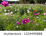 these flowers are cosmos. ... | Shutterstock . vector #1224490888