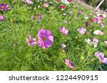 these flowers are cosmos. ... | Shutterstock . vector #1224490915