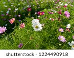 these flowers are cosmos. ... | Shutterstock . vector #1224490918