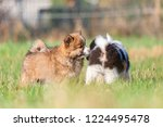 picture of cute elo puppies are ... | Shutterstock . vector #1224495478