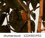"""chestnut tailed starling"" or ... 
