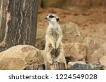lonely suricata standing and... | Shutterstock . vector #1224549028