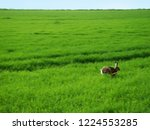 Stock photo brown hare running across green meadow 1224553285