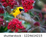 spotted backed weaver in a...   Shutterstock . vector #1224614215