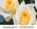 natural roses delicate yellow...   Shutterstock . vector #1224621025