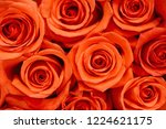natural roses delicate red with ...   Shutterstock . vector #1224621175
