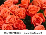 natural roses delicate red with ...   Shutterstock . vector #1224621205