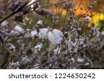 fluffy white fruits of chinese...   Shutterstock . vector #1224650242