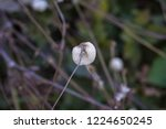 fluffy white fruits of chinese...   Shutterstock . vector #1224650245