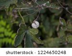 fluffy white fruits of chinese...   Shutterstock . vector #1224650248