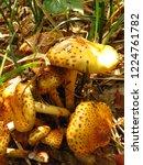 shaggy scalycap fungi  pholiota ...   Shutterstock . vector #1224761782