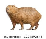 Capybara isolated on white...