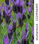 lavender and bee  this... | Shutterstock . vector #1224946405