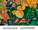 orange and golden foliage of...   Shutterstock . vector #1224958585
