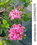 pink thai spike flower or ixora.... | Shutterstock . vector #1224962275