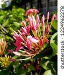 pink thai spike flower or ixora.... | Shutterstock . vector #1224962278