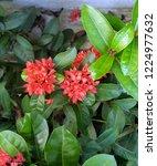 red thai spike flower or ixora... | Shutterstock . vector #1224977632