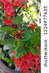 red thai spike flower or ixora... | Shutterstock . vector #1224977635
