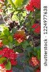 red thai spike flower or ixora... | Shutterstock . vector #1224977638