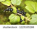 branch of black currant in the... | Shutterstock . vector #1225105288