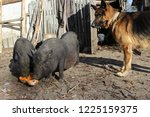 Vietnamese Pot Bellied Pig And...