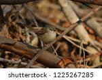 tawny flanked prinia bird in... | Shutterstock . vector #1225267285