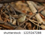 tawny flanked prinia bird in... | Shutterstock . vector #1225267288