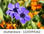 anemone coronaria  purple...   Shutterstock . vector #1225395262
