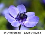 anemone coronaria  purple...   Shutterstock . vector #1225395265