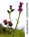 wild pink blooming thistle....   Shutterstock . vector #1225412998