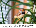 zebra finch male sitting on a... | Shutterstock . vector #1225666675