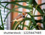 the male zebra finch sits on a... | Shutterstock . vector #1225667485