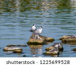 two adult common terns  sterna... | Shutterstock . vector #1225699528