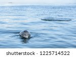 wild atlantic bottlenose... | Shutterstock . vector #1225714522