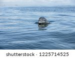 wild atlantic bottlenose... | Shutterstock . vector #1225714525