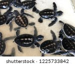 newly hatched baby turtles... | Shutterstock . vector #1225733842