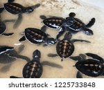 newly hatched baby turtles... | Shutterstock . vector #1225733848