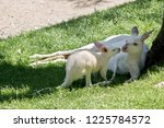 the joey is about to nuzzle its ... | Shutterstock . vector #1225784572
