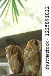 the oriental bay owl is a type...   Shutterstock . vector #1225891822