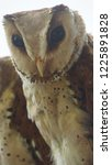 the oriental bay owl is a type...   Shutterstock . vector #1225891828