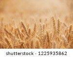 wheat in the farm | Shutterstock . vector #1225935862