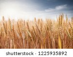 wheat in the farm | Shutterstock . vector #1225935892