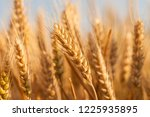 wheat in the farm | Shutterstock . vector #1225935895