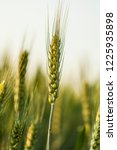 wheat in the farm | Shutterstock . vector #1225935898