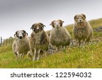 Four White Ram Sheep With Long...